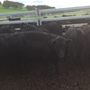 48 EU accredited Angus heifers